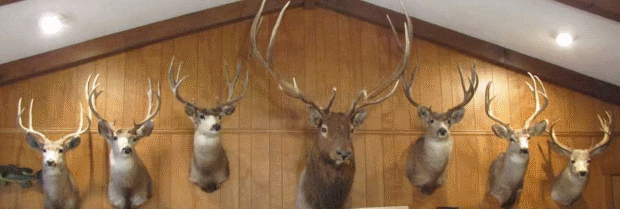 At Auction: Deer heads, shot by Garner Ted Armstrong using our tithe money